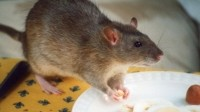 Damage limitation: legal advice on potential rat infestations
